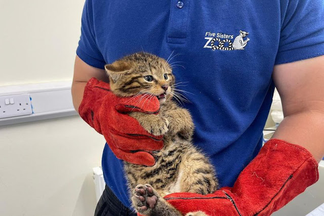 Scottish wildcat kitten at his first medical