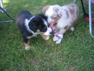 australian shepherd puppies 7 weeks old