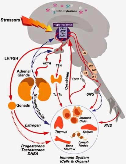 eje hipotálamo hipofisario adrenal psiconeuroinmunología