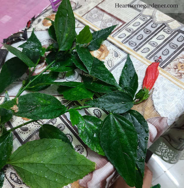 Turks cap plant - propagation via cuttings