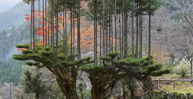 Daisugi, Sustainable Forestry