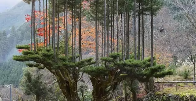Daisugi: Japanese Technique to Produce Wood without Cutting Down Trees; Sustainable Forestry