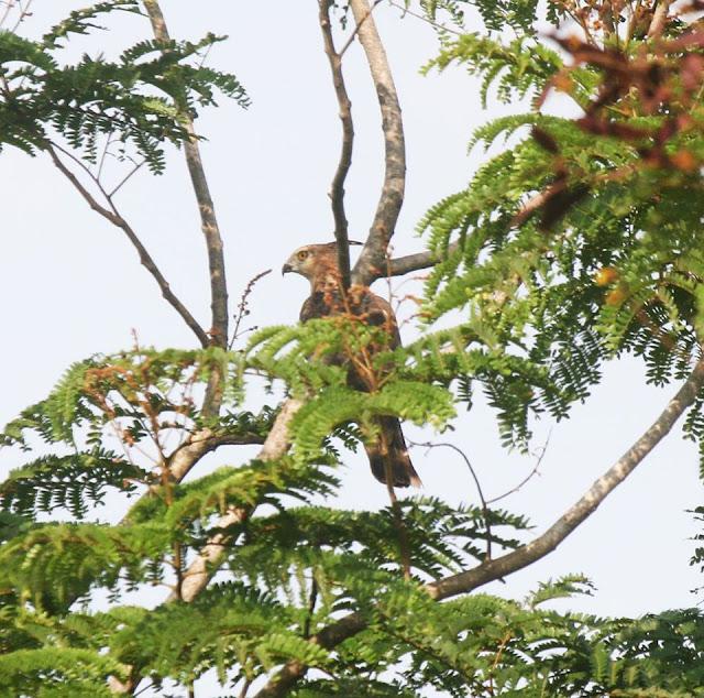 Đại bàng hoang dã ngay tại công viên Gò Vấp