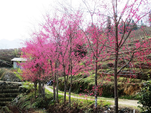 Sapa charm in cherry blossom season
