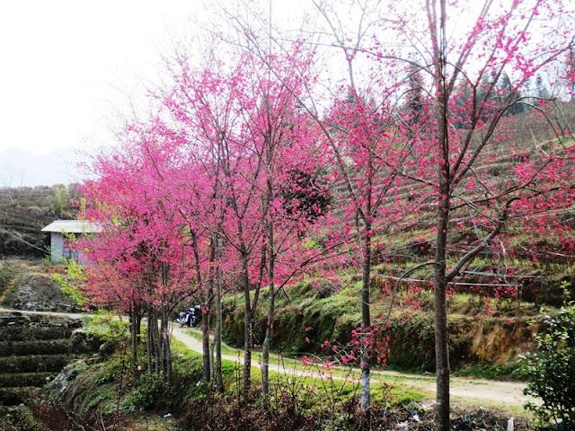 Sapa charm in cherry blossom season
