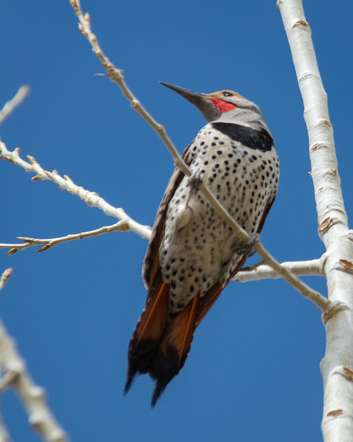 Northern Flicker, Fairview Reservoir