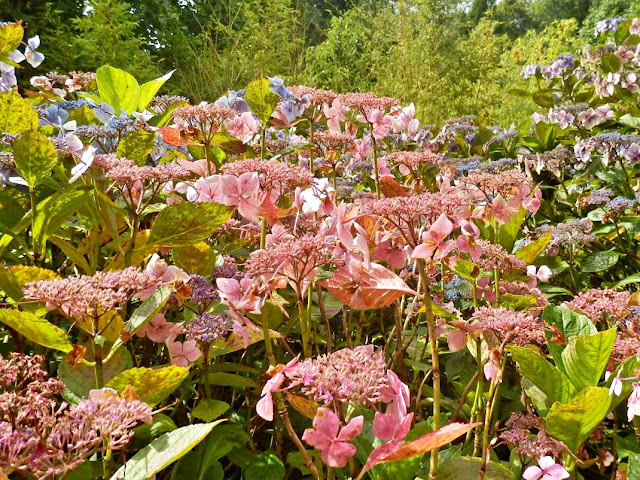 Pink Lace Hydrangeas, Lost Gardens of Heligan