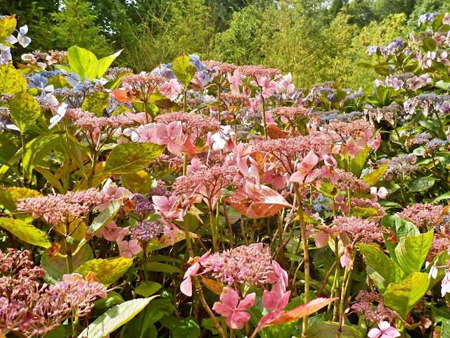 Pink Lace Hydrangeas, Lost Gardens of Heligan