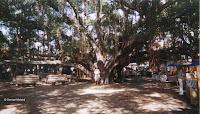 Giant banyan tree, Lahaina, Maui