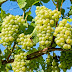 Multiple Jobs Available In a Grape Farm In Canada