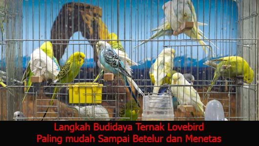 Langkah Budidaya Ternak Lovebird Paling mudah Sampai Betelur dan Menetas