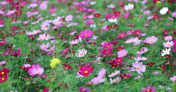 雲林莿桐孩沙里花海,大波斯菊、油菜花、向日葵
