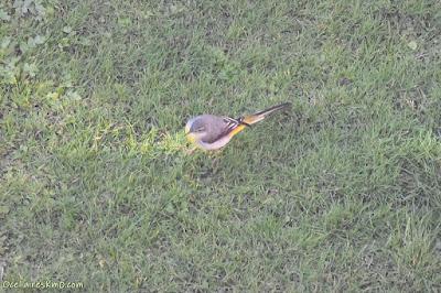 Cuereta torrentera (Motacilla cinerea)