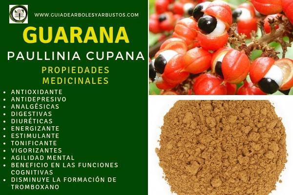 Guaraná tiene propiedades medicinales como ser estimulante, antioxidante, antidepresivo