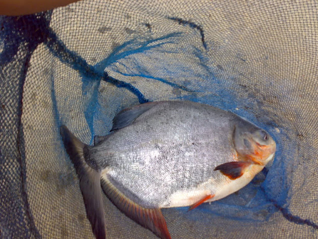 Jangkrik sebagai Umpan Mancing Ikan Bawal Order WA 0858-5314-7511 Jangkrik sebagai Umpan Mancing Ikan Bawal