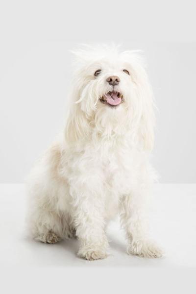 havanese white dog breed