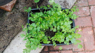 Cilantro growing in small container