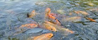 cara budidaya ikan mas di kolam terpal,cara budidaya ikan mas di kolam beton,cara budidaya ikan nila di kolam terpal,cara budidaya ikan patin kolam terpal,cara budidaya pembesaran ikan mas,