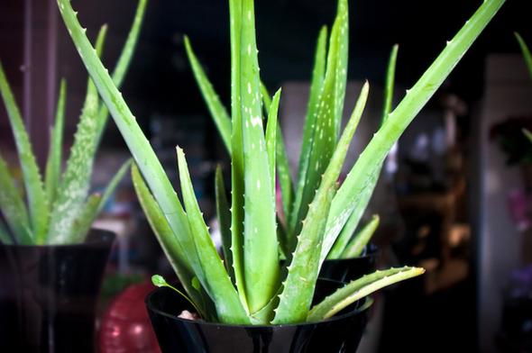plants for insomnia or sleep apnea