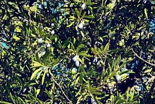 Ηλεία: «Φάρμακο» τα φύλλα αγριελιάς
