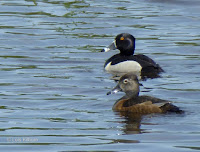 Ringed-neck duck pair – Priest Pond, PEI – July 20, 2017 – © Lois Kilburn