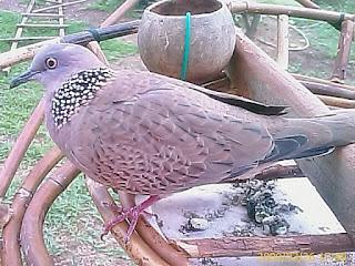 burung tekukur
