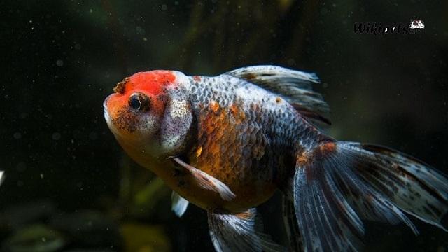 Ciri ciri ikan mas koki