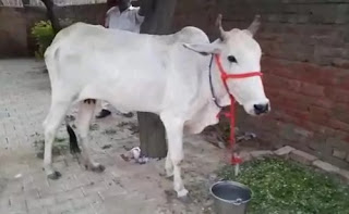 Allahabad High Court: To make cow protection a fundamental right