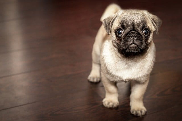 dog pug pictures