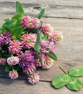 bunga clover penghasil clover honey