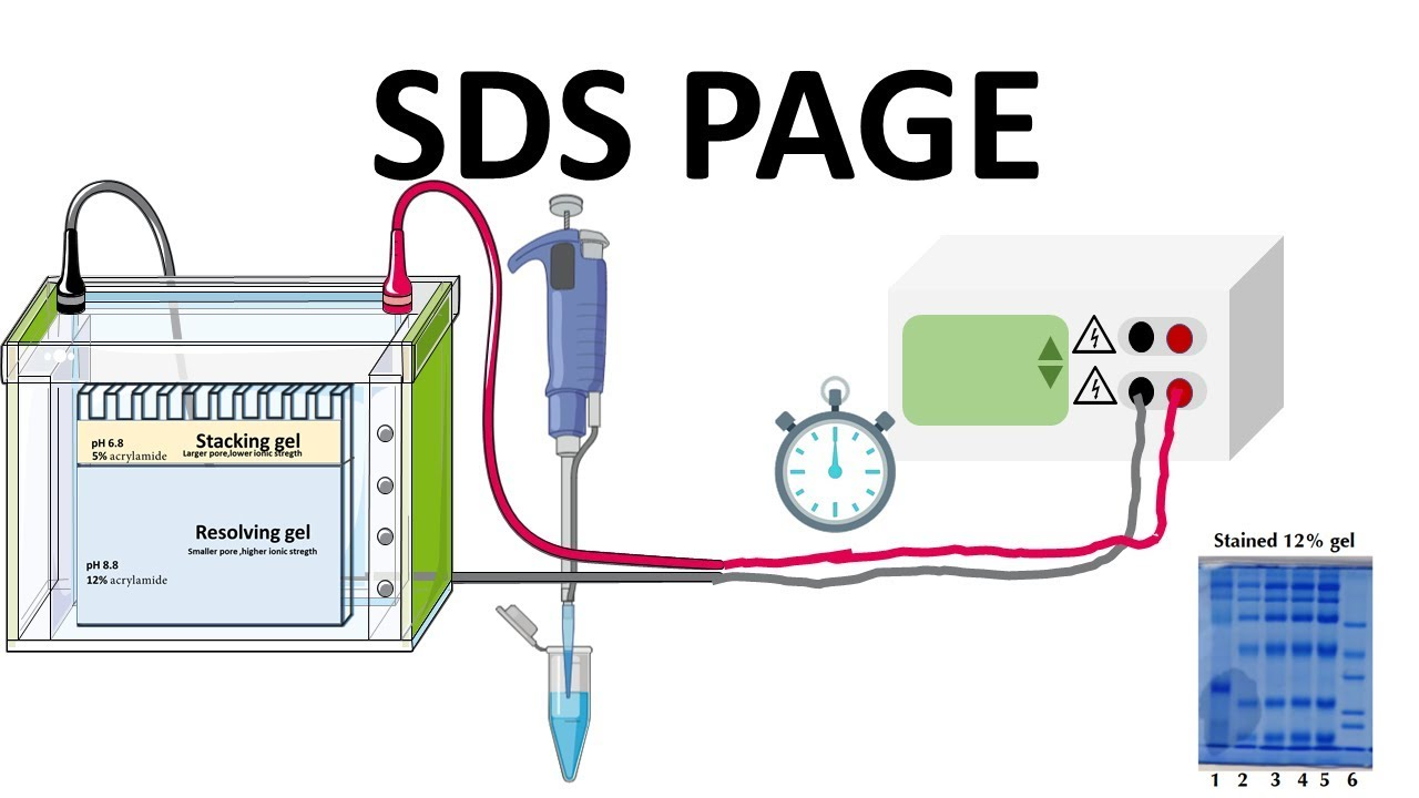 SDS- PAGE