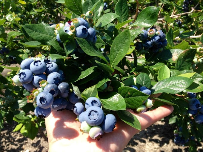 10 Tips On How To Grow Blueberries