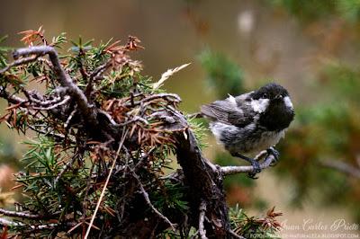 Carbonero Garrapinos - Periparus Ater (fotografia-de-naturaleza.blogspot.com)