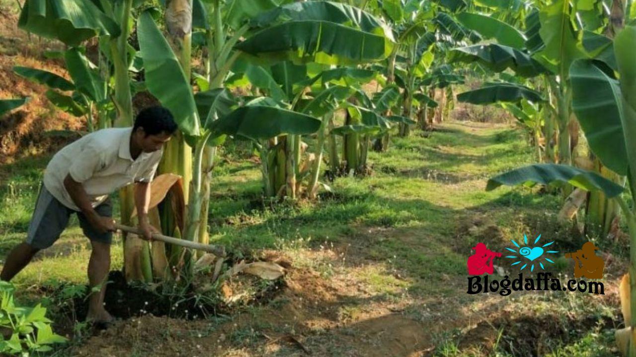 Teknik perawatan pohon pisang