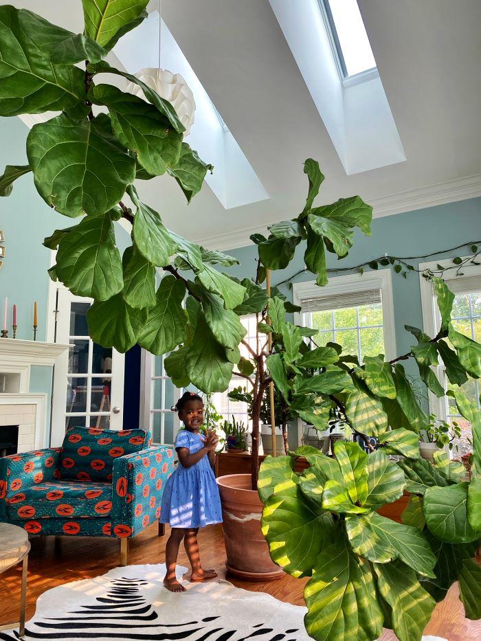 Giant fiddle leaf fig in sunroom-designaddictmom