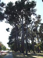 Maritime pines, Hagley Park - Christchurch, New Zealand