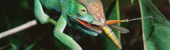 Camaleão - Alimentação