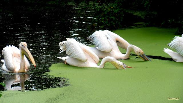 Roze pelikanen in het water