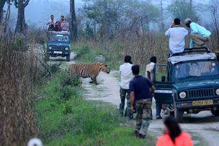 Tigers in Kaziranga