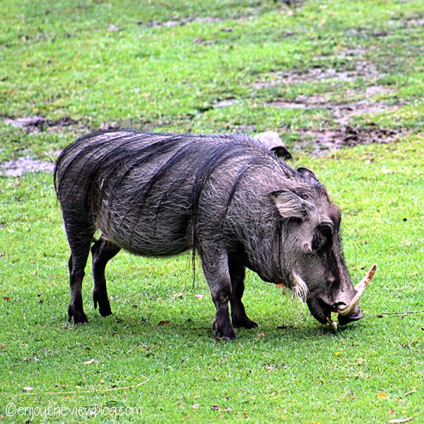 Warthog grazing in the grass