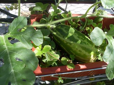 Καρπούζι μεγαλώνει μεσα σε ζαρντινιέρα παρέα με φράουλες