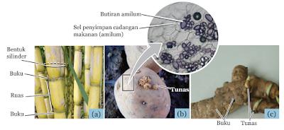 Tumbuhan yang Menyimpan Cadangan Makanan di Batang, (a) Tebu (b) Kentang, (c) Rimpang Kunyit
