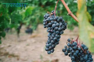 زيت بذور العنب: خصائص مفيدة وأسرار الاستخدام