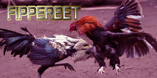 aduan ayam super