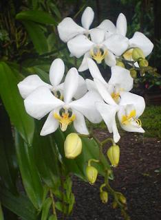 anggrek putih cantik