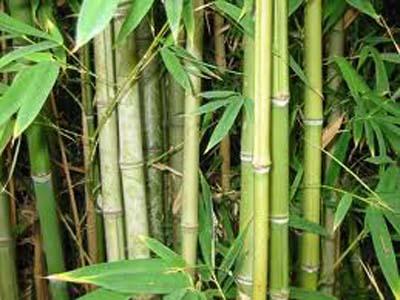 Bamboo Farming बांबूची शेती - VILLAGE GP DATA OPERATORS
