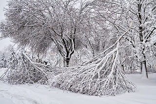 Snow-covered trees with some branches that have broken off lying on the ground.
