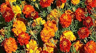 Floarea de crăiță: Simbol, legendă, superstiții și proprietăți medicinale