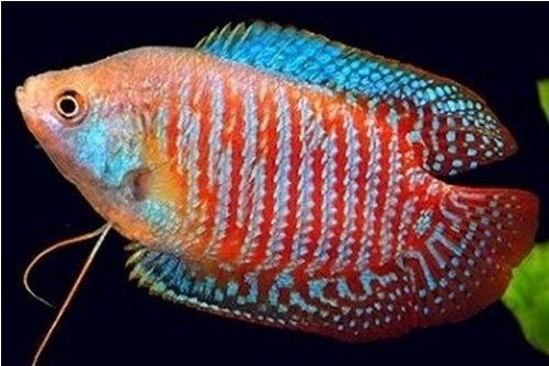 Dwarf Gourami Ikan kanalmu