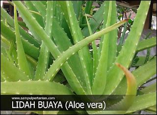 Cara mudah menanam lidah buaya (Aloe vera)